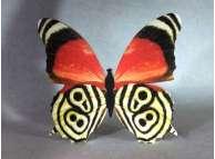"""Декор для интерьера """"Бабочка многоцветная черно - рыжая""""/принт (1шт)"""